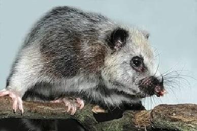 Южная тонкохвостая крыса