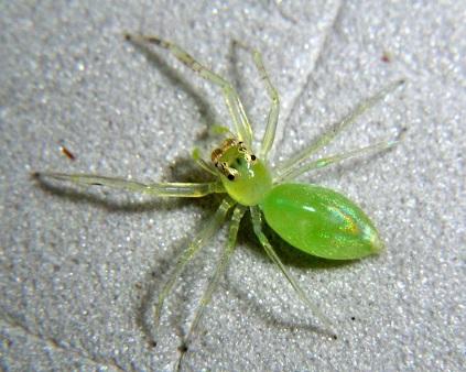 Зеленый паук скакун