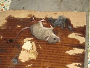клей для мышей