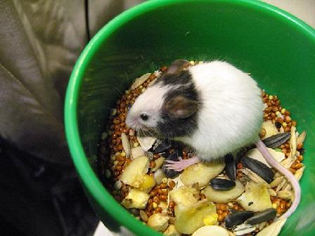 кормление японской мыши