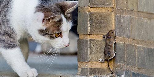 кошки ловят мышей