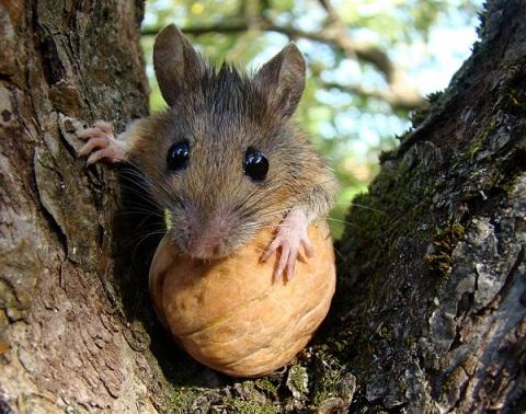 мышь ест орех