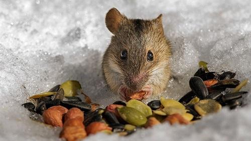 мышь питается семечками