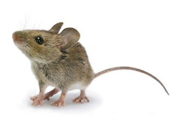 мыши сонник