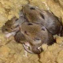 мыши в утеплителе