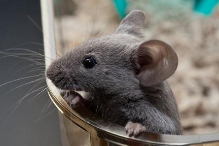 приметы мыши