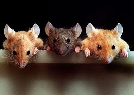 три мыши