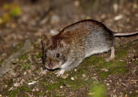 запах отпугивает мышей 1