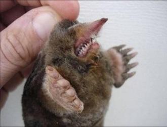 Зубы крота