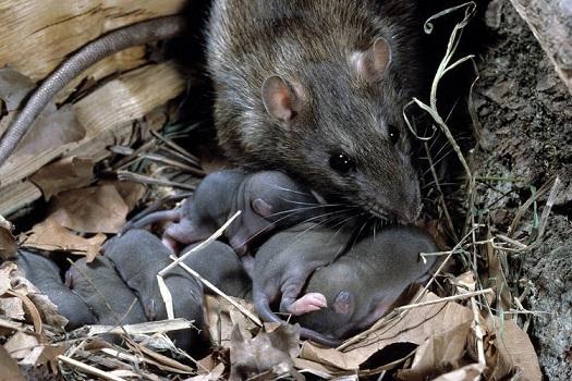 Крысиные детеныши во сне