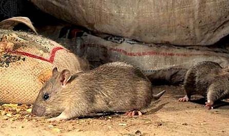 крысы в сарае