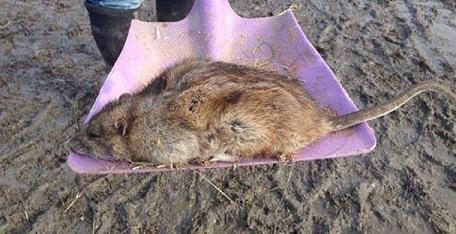 мертвая крыса на лопате