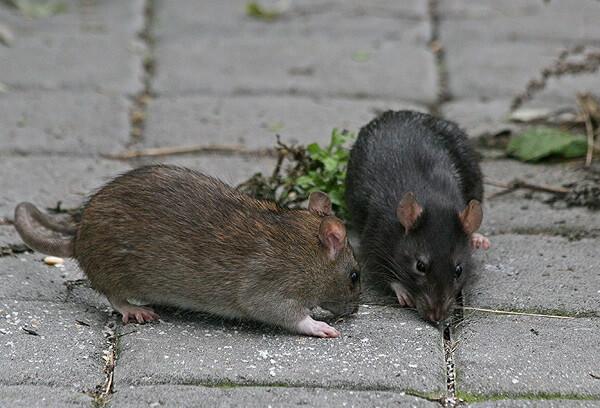 приснилсь крыса это к чему