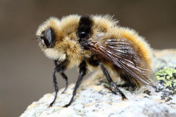 Овод фото насекомое